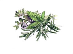 Rosemary, Mint and Thyme in graphite and colored pencil by Robert Ciampa www.ciampa-illustration.com