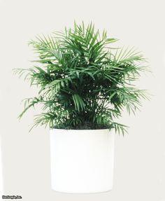 Parlor Palm (Chamaedorea elegans) | shade loving houseplant