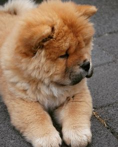 Love sharing pictures of Moos when she was just a little puppy #chowchow #puppylove #chowlife #instapuppy #instapet #lacyandpaws #cuteanimals #cutepuppyclub #animalsaddict #adorimals #puppygram #mydogiscutest #dogoftheday #dogs_of_world_ #babyanimals @seamusobrien #fluffy by chow_chow_moos