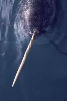 narwhal (credits: bryan and cherry alexander wwf)