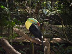 Toucan Sam! Panama Summit Botanical Garden