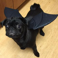 Pug Halloween Costumes, Adult Pug, Pugs, French Bulldog, Animals, Animales, Animaux, French Bulldog Shedding, Bulldog Frances