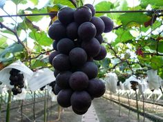Organic Heirloom 5 Seeds Taiwan Kyoho Grape Grapes by seedsshop, $2.99