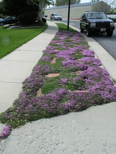stepping stones ground cover   Creeping Thyme with sandstone stepping stones.