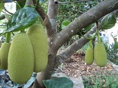 Fresh JackFruit Seeds Tropical Fruit Growing Precious and rare seeds/pack) . Jackfruit Plant, Jackfruit Tree, Jackfruit Seeds, Fresco, Sri Lanka, Vegan Facts, Tree Images, Exotic Fruit, Fruit Trees