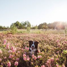 "findmomo: ""It must be early summer, the Sheep Laurels are in full bloom here in Ontario. They're producing fields of pink and Momo's…"