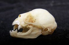 White-winged Vampire Bat (click to see skulls from various bat species native to Paraguay)