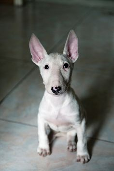 usually i don't like bull terriers, but this is ridiculously adorable