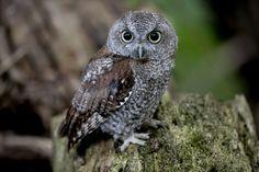 Baby Screech Owl | Eastern Screech Owl Baby. pixel-shooter.net