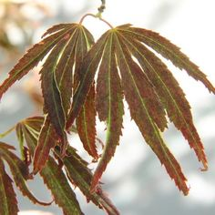Acer palmatum Beni Shi En
