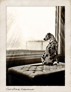 Dalmatian Dog waiting out the Winter Storm by StickyPets on Etsy, $19.99