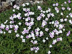 Vijver en Tuincentrum Pelckmans: Aubrieta hybride 'alba'