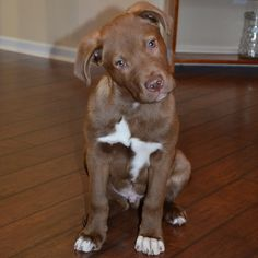 Meet our beyond adorable #dogoftheday Case! He is a #chocolatelab mix who was rescued from a kill shelter!