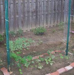Vertical chicken wire trellis above cucumber seedlings - Modern Bean Trellis, Wire Trellis, Trellis Fence, Garden Trellis, Garden Poles, Garden Stakes, Garden Fencing, Cucumber Plant
