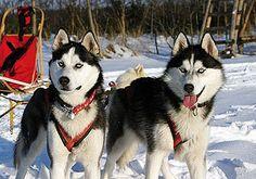 Huskies erleben - Schlittenhund Ammersee
