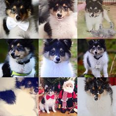 Thank you all so much for this year. Hope 2016 will be great to all of you! Happy new year furfriends ❤️ #sheltiemilou