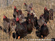 Blue Laced Red Wyandotte, Wyandotte Chicken, Color, Colour, Colors