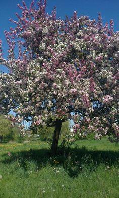 """kwitnąca jabłoń """"rajskie jabłuszka """""""