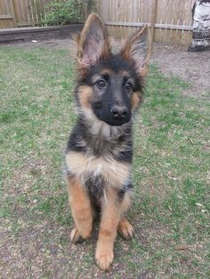 Another amazing german shepherd puppy with some very cute ears!