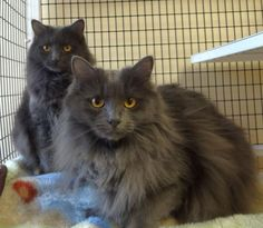 Hi! We're Axel Rose and Sally Salchow, a sweet pair of sisters looking for a home together. We are friendly and fun and we don't think we even need to mention how gorgeous.  Come meet us at Feline Rescue, Inc. in St. Paul, MN. #adopt #rescuecat