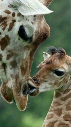 These beautiful animals sadly are disappearing.before scientists even have begun to understand them well. I would hate to see the beloved giraffe disappear from superstitions-related over-hunting. Giraffe Pictures, Animal Pictures, Nature Animals, Animals And Pets, Animals With Their Babies, Beautiful Creatures, Animals Beautiful, Cute Baby Animals, Funny Animals