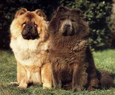 alright quality chow-chow. I like the longer noses.