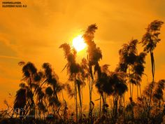 Sunset and reed. #ds1cje57 - 황금 빛 노을속 갈대 Reed glow in golden light.. Thank you very much.  Have a nice day.