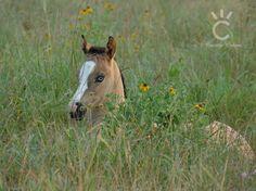 2016 Foals - Shining C Grulla Horses