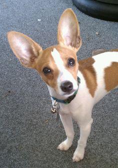My Jax, a toy rat terrier at 5 months