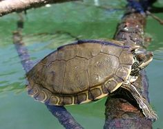 This turtle lives in the Pearl River, which defines the border between Louisiana and Mississippi, and was discovered by a team from the U.S. Geological Survey. It ranges in size between 6 and 11 inches and eats clams, fish and insects.