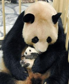 Panda baby. How is it so small!!! That's crazy that they start out that small.