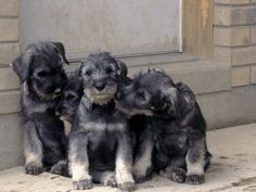 I really want a new schnauzer puppy soon!! Can never replace my wonderful Zelle, but another puppy soon would be good.