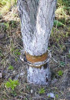 Как защитить дерево от муравьиного нашествия