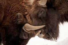 """lovenature: """" European Bison In Europe's wild east, conservationists reintroduced the iconic European bison to Poland's Białowieża Forest in 1952, bringing back an animal that had once inhabited the continent's woodlands. Photograph by Stefano..."""
