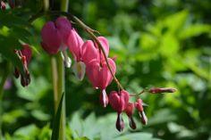 Särkynyt sydän, kaunis tappioidenkin jälkeen | Vesan viherpiperryskuvat – puutarha kukkii