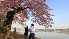 For Hundreds of Years, Cherry Blossoms Are Matter of Life and Death   PBS NewsHour