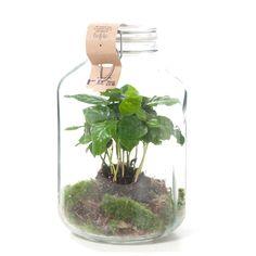 Heb je weinig tijd om je planten te verzorgen? Ga dan voor de coffea arabica weckpot. Dit schattige plantje zorgt voor zichzelf en kan tot wel 12 maanden zonder