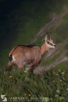 Chamois - definitely my favorite animal. Wild Animals, Wildlife Photography, Kangaroo, Pictures, Baby Bjorn, Wild Ones, Nature Photography