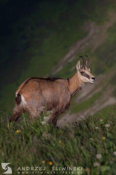 Chamois - definitely my favorite animal.  #wildlifephotography