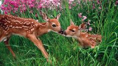 Spring Animals | kissing spring deer national park washington fawn baby animals ...