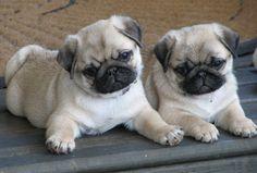 baby pugs! #baby #pugs! baby pugs!