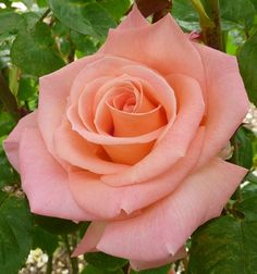 Imagem gratis no Pixabay - Rose, Orange, Flor, Verão, Bloom