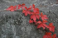 This plant turns a vibrant red in fall. Virginia Creeper, Creepers, Leaves, Falls Park, Plants, Google Search, Painting, Gardens, Sun