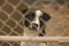 ON DEATH ROW! WILL NOT LAST THE WEEK! URGENT****Border Collie mix Female 1-2 years old Kennel A26**$51 to adopt She is extremely sweet and has the prettiest brown eyes! Please ADOPT!!!  Located at Odessa, Texas Animal Control 910 W 42nd street. 432-368-3527. https://www.facebook.com/speakingupforthosewhocant/photos/pcb.742307905793450/742307585793482/?type=1&theater