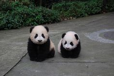 panda smiles