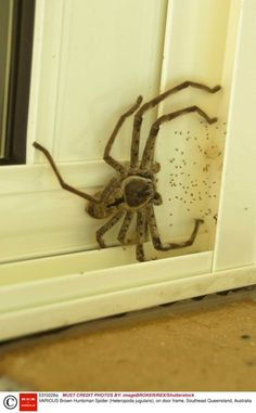 Mandatory Credit: Photo by Neil Bowman/FLPA/imageBROKER/REX/Shutterstock (5310228a).. Brown Huntsman Spider (Heteropoda jugulans), on door frame, Southeast Queensland, Australia.. VARIOUS.. ..