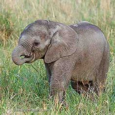 Did you know that baby elephants suck their trunk for comfort in much the same way human babies suck their thumbs? #rememberingelephants #cute