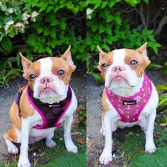 This cute yet stylish reversible dog harness is made by Pebblina. This harness comes with two sides to choose from, a sailor pattern or an owl pattern. Wear it your way! Bed Tent, Teepee Tent, Dog Facts, Owl Patterns, Dog Harness, Making Out, Best Dogs, Boston Terrier, Sailor