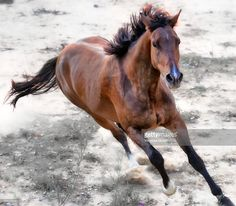 ストックフォト : Warmblood horse galloping