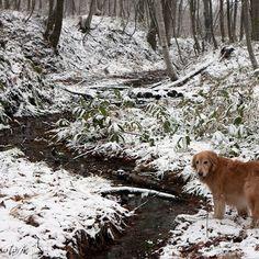 【taro_tosh】さんのInstagramをピンしています。 《ここ、渡っちゃう♪ #冬 #川 #雪 #小川 #森 #木  #winter #creek #stream #forest #retriever  #犬 #ゴールデンレトリーバー  #レトリバー #ゴールデン #犬バカ部 #癒しワンコ #ふわもこ部 #ゴールデンレトリバー  #retriever #goldenretriever #dog #retrievers #goldenretrievers》